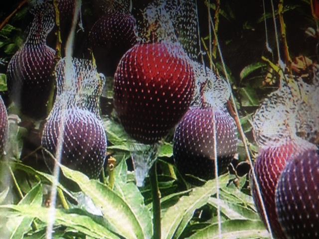 マンゴー「太陽のたまご」の美味しさの秘密【ジョブチューン】
