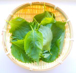 ヒルナンデス 家政婦マコさん大葉塩の作り方。大葉の長期保存が可能に。